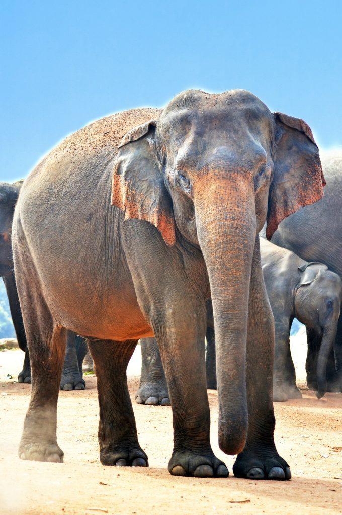 Jumbo elephant